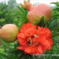 牡丹石榴树供应商-菏泽长青苗木花卉基地
