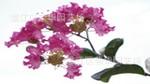 大量供应乔木专供绿化苗木紫薇(百日红、光棍树)
