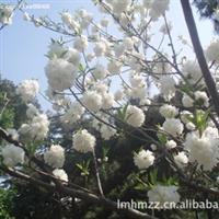 供应各种规格西府海棠、牡丹石榴及各种海棠小苗