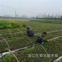 大量供应产地直销樱桃小苗  质量优质  温江绿化  四川绿化