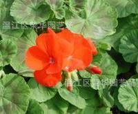 专供绿化深夜草莓视频app下载天竺葵(洋绣球)  多年生草本