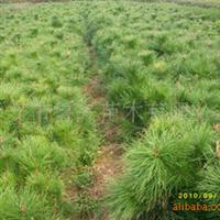 优惠供应绿化苗木油松