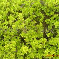 泰安鲁兴苗圃专业供应各种绿化苗  金叶女贞