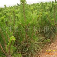 供应各种价格实惠的优质绿化树苗——油松