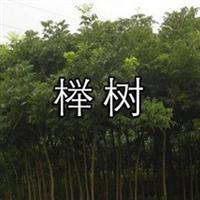 榉树(别名血榉、金丝榔、沙榔树、毛脉榉等)又名大叶榉