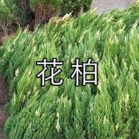 花柏 沭阳鸿利园艺中心