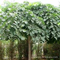 大量供应柳树,金丝柳,馒头柳,垂柳等。各种柳树规格