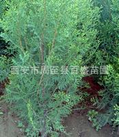 绿化苗木供应(刺柏)现货直销1.5米-2米刺柏优质优价