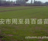 大量供应草坪,草皮,陕西草坪草皮供应优质优价