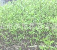 大量供应红柳,红瑞木3-8个分枝陕西红瑞木甘肃红瑞木红柳供应