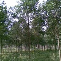 供应黄山栾树13公分(图)