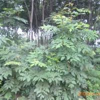 供应优质苗圃栾树苗1--1.5米高