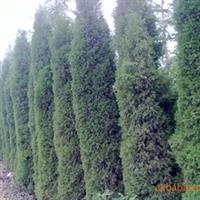 供应:蜀桧、刺槐