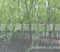 垂柳树苗供应、直柳树苗金丝柳树苗旱柳树苗馒头柳树苗的供应