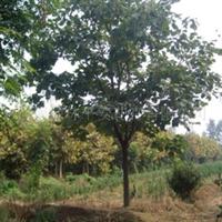 黄山栾树15公分