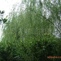 柳树(温江花农花木)