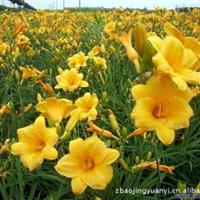 长期供应优质玉兰 园林植物系列