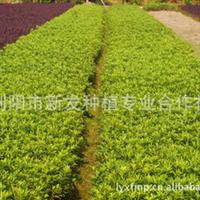 低价批发销售大量园林绿化灌木杜鹃