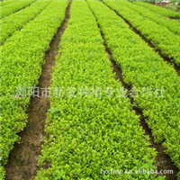 苗木基地大量供应工程用绿化小苗  扦插杜鹃小苗