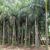 供应棕榈科植物:狐尾椰子/金山棕/老人葵
