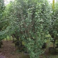 供应中层观花小乔木:木槿