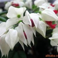 供应多年生攀缘花架藤本花卉:龙吐珠