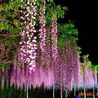 供应攀墙(垂直)、花架、围栏、屋顶的植物:紫藤