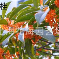 供丹桂、金桂、银桂、金球桂、红枫、樱花等别墅庭院绿化苗木