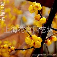 专供别墅庭院绿化苗木 有馨口腊梅、桂花、日本红枫、?;ǖ? onerror=