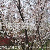 上海花海园艺场培育直销早樱、晚樱等绿化苗木