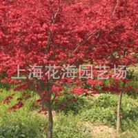 上海花海园艺场供应: 庭院绿化苗木、工程绿化苗木