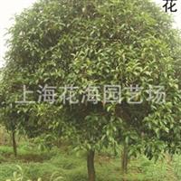 供应: 别墅庭院绿化苗木、工程绿化苗木