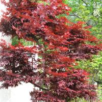 上海花海园艺场培育直销红枫、日本红枫、桂花、樱花、垂丝海棠等