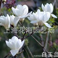 专供别墅庭院绿化苗木 有白玉兰、、红玉兰、黄玉兰、樱花等