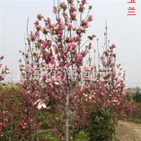 专供别墅庭院绿化苗木 有红玉兰、白玉兰、黄玉兰、红枫等