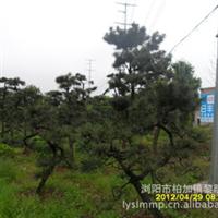 湖南基地现货供应批发大量稀有珍贵优质造型苗木黑松