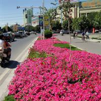 供应青州草花 矮牵牛 粉色 红色 用于节日景观 绿化