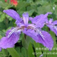 白菜价格处理大量 鸢尾 青州建学花卉园艺