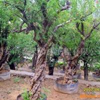 2012直销百年石榴树(图)