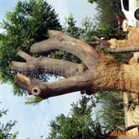 供应百年古皂角树