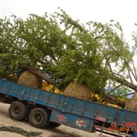 供应各种规格的银杏树