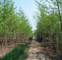 本场常年出售各种银杏苗木