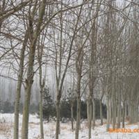 供应:毛白杨直径12-15厘米