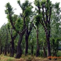 大量供应各类灌木大型乔木 苗圃移植苗 野生采集苗 品种齐全