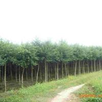 苗圃直接供应3—25公分小叶榕 规格齐全 货源丰富 价格合理 树型