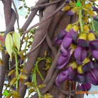 供应绿化苗木 紫藤  量多从优