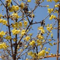出售各类规格绿化小苗 腊梅 榆叶梅 红枫