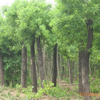 大量出售栾树 各种规格的栾树 质量保证(图)