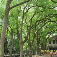 供应香樟树 移栽香樟树 优质香樟树(图)