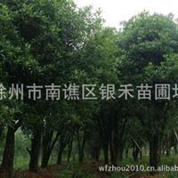 供应桂花树 绿化面木桂花树 各种规格(图)